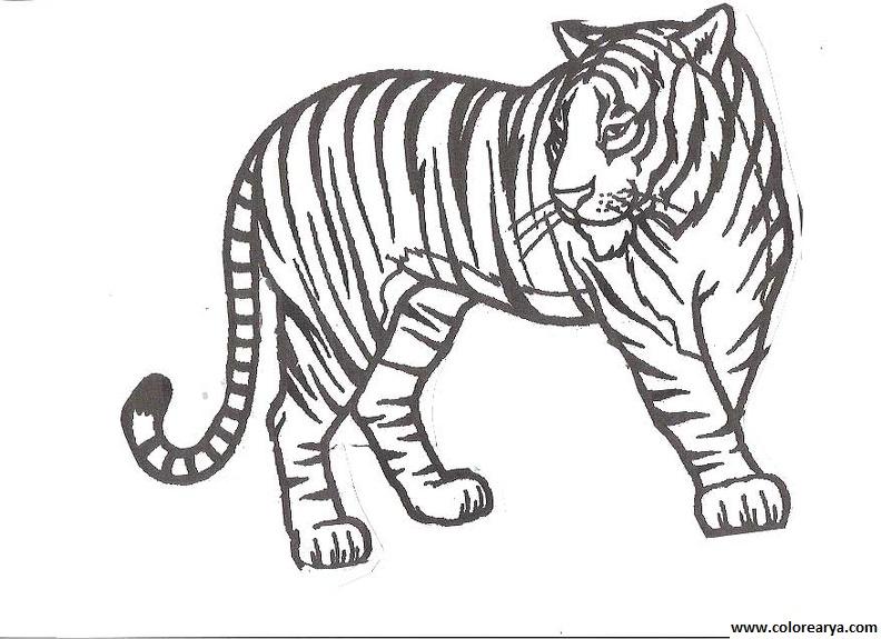 Tigre mediano para colorear - Imagui