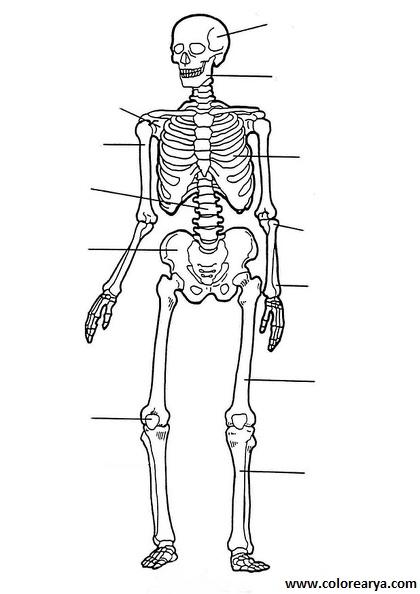 Esqueleto humano para dibujar niños - Imagui